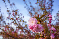 RHIT_Campus_White_Chapel_Cherry_Blossoms-2707.jpg