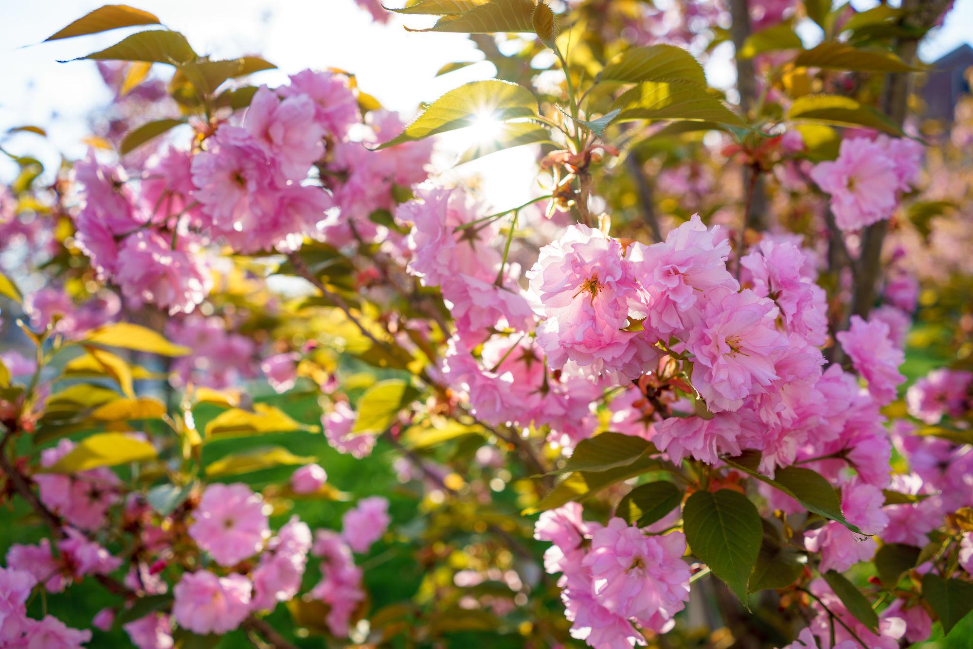 RHIT_Campus_White_Chapel_Cherry_Blossoms-2738.jpg