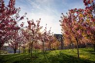 RHIT_Campus_Percopo_Cherry_Blossoms-2734.jpg