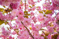 RHIT_Campus_Percopo_Cherry_Blossoms-2728.jpg