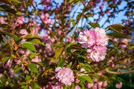 RHIT_Campus_White_Chapel_Cherry_Blossoms-2626.jpg