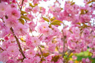 RHIT_Campus_White_Chapel_Cherry_Blossoms-2726.jpg