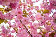 RHIT_Campus_White_Chapel_Cherry_Blossoms-2728.jpg