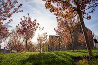 RHIT_Campus_Percopo_Cherry_Blossoms-2747.jpg